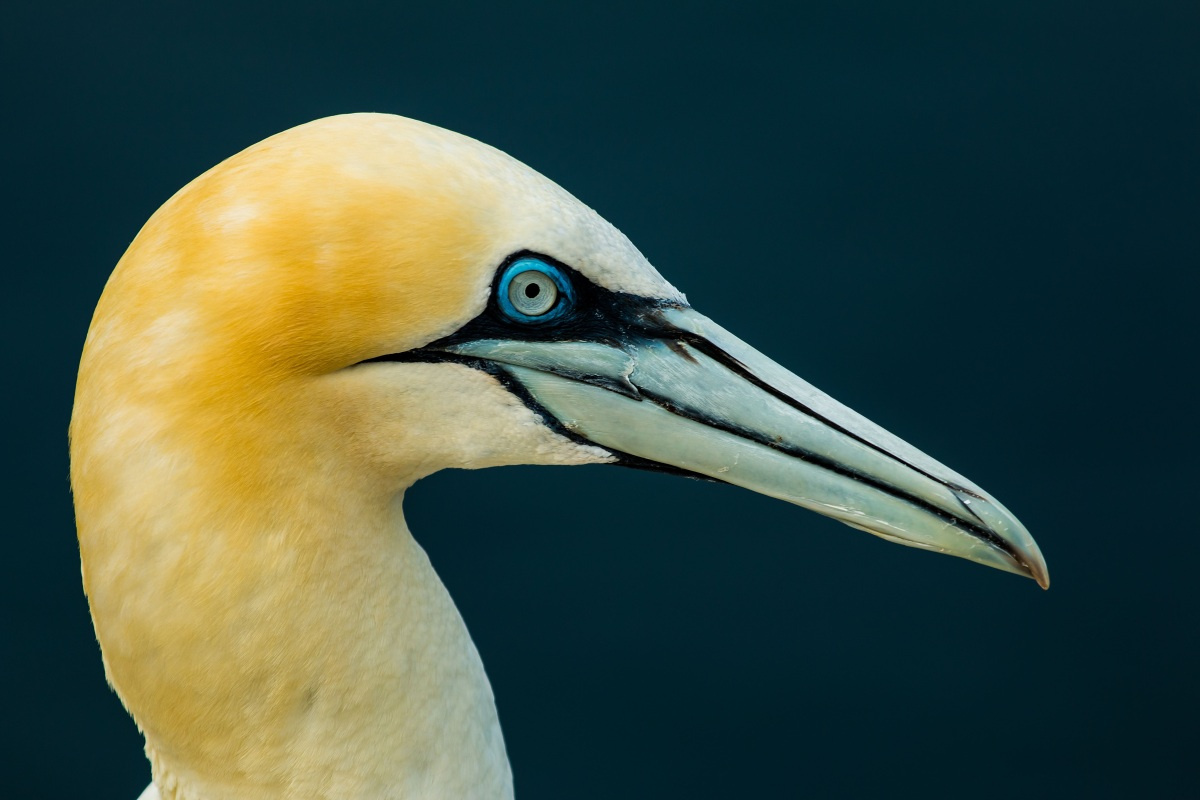 A closeup of a norther gannet. Its feathers are yellowish, and its long beak is a pale bluey-green