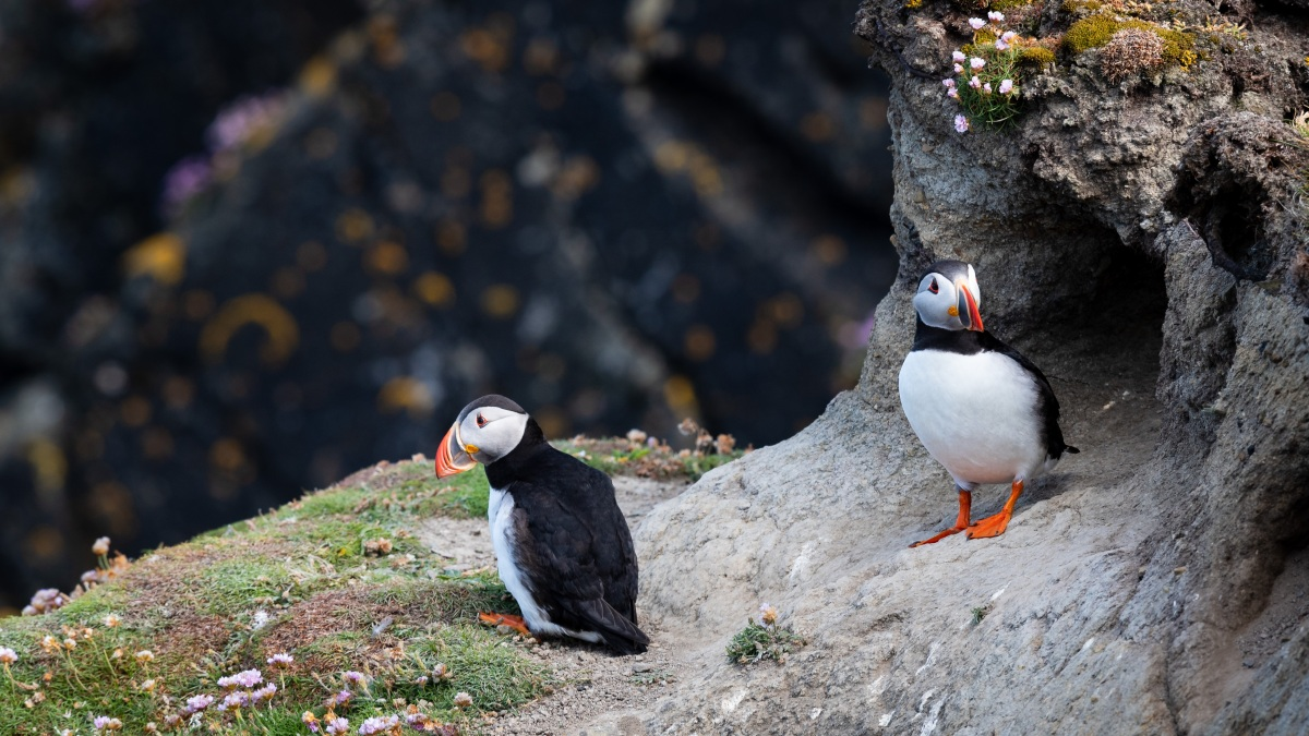 Two puffins on the edge of a heathered cliff